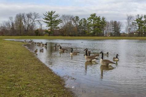 Pond with geese in Westminster, MD